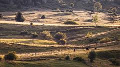 Pasture (Jean-Luc Peluchon) Tags: montagne mountain massifcentral france rural vache cow nature champ champêtre field agriculture farmer farming lumière light sunset
