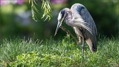 (c)WMH_2019_09_06 Great Blue Heron (WesleyHowie) Tags: birds canada downtownhalifax greatblueheron halifax halifaxpublicgardens heron location municipalpark novascotia wildlife