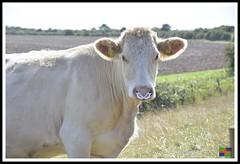 Roman Bank Beast (3) (nowboy8) Tags: nikon nikond7200 anderbycreek cloudbar moggseye marshyard northsea cows beast wildsea