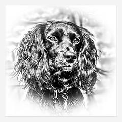 monty-bw (Paul Kato) Tags: dog portrait pet spaniel cocker