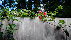 Wild Berries on a Fence (Eric Gross Photography) Tags: plant berries color harmony