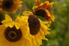 Sonnenschein am Regentag (Ernst_P.) Tags: tirol österreich pflanze blume blüte regen aut sonnenblume inzing walimex 135mm f20 samyang