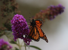 Monarch in the garden (Robin Wechsler) Tags: butterfly monarch insect flower garden