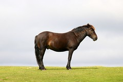 Dartmoor Pony (crashcalloway) Tags: pony dartmoorpony equine dartmoor devon westcountry westofengland animal mammal nature