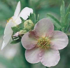 Pastel potentilla (tanith.watkins) Tags: prettyinpastel palegreen potentilla palepink pastel smileonsaturday
