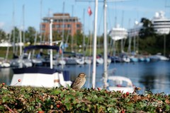 Sunny day at the Harbour (Sockenhummel) Tags: hafen harbour dänemark denmark kopenhagen spatz sparrow vogel hecke schiffe fuji xt10 bird