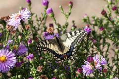 Papillon (clamar18) Tags: blanc insecte jardin machaon mery noir papillon france butterffly mérysurcher vierzon
