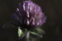Tiny pastel clover (Macro Sleuth) Tags: wildclover dew bellyphoto bokehballs backlight morning phototherapy outside outdoors nature naturephoto selectivefocus smileonsaturday prettyinpastel magenta bokeh verytiny leaffocus afsvrmicronikkor105mmf28gifed lowkey