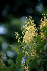 Mai hoàng yến (Tristellateia australasiae) (luongsangit58) Tags: flower minolta fujifilm fujifilmxt10 fuji australasiae tristellateia hoa