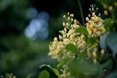 Mai hoàng yến (Tristellateia australasiae) (luongsangit58) Tags: fujifilm fuji fujifilmxt10 hoa flower mi minolta bokeh