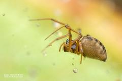 Sheet weaver spider (cf. Linyphiidae) - DSC_2611 (nickybay) Tags: malaysia macro sabah kinabalunationalpark mountkinabalu linyphiidae sheet weaver spider