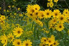 Wildflowers (ramseybuckeye) Tags: wildeflowers yellow kendrick woods prairie allen county ohio pentax life art