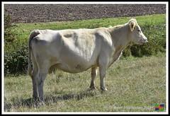 Roman Bank Beast (11) (nowboy8) Tags: nikon nikond7200 anderbycreek cloudbar moggseye marshyard northsea cows beast wildsea