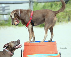 """""""It's mine and you can't have it!"""" (Judecat (Sand between my toes )) Tags: dogs canines dogwithball wildwooddogpark dog park wildwood beach pitbull silverlabradorretriever labradorretriever pearl"""