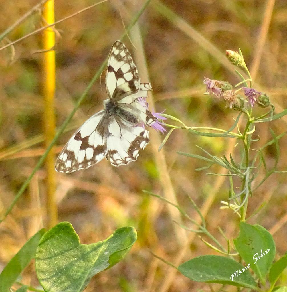 "Águas Frias (Chaves) - ... borboleta (""Melanargia galathea"") entre as plantas campestres ..."