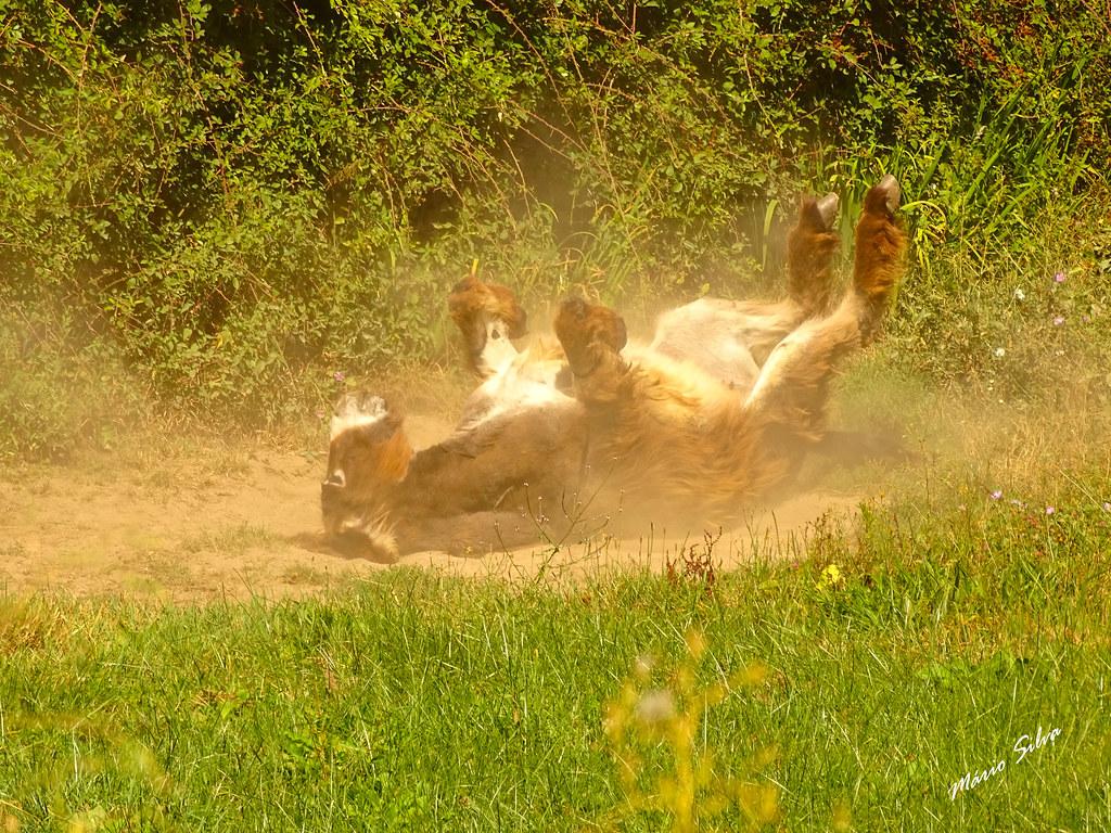 """Águas Frias (Chaves) - ... burro (""""Equus africanus asinus""""), espojando-se na terra (para se ver livre das moscas) ..."""