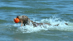 in deep (Judecat (Sand between my toes )) Tags: ball dog with dogwithball silverlabradorretriever labradorretriever wildwood dogswimming ocean sea waves pearl