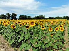 les tournesols (danie _m_) Tags: field sunflowers flowers nature champ campagne tournesols fleurs paysage landscape