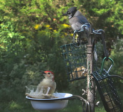 Red-bellied Woodpecker And A Blue Jay In The Shade At The Bird Feeder Station IMG_4234 (Ted_Roger_Karson) Tags: northernillinois redbelliedwoodpecker bluejay birdfeeder birds handheldcamera canonpowershotsx280hs backyard