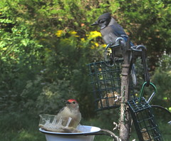 Red-bellied Woodpecker And A Blue Jay At The Bird Feeder Station In The Shade IMG_4232 (Ted_Roger_Karson) Tags: northernillinois redbelliedwoodpecker bluejay birdfeeder birds handheldcamera canonpowershotsx280hs backyard