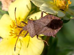 Dock Bug (chaz jackson) Tags: coreusmarginatus dockbug hemiptera coreidae insect bug dock