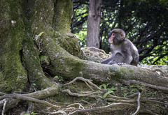 Monkey see, monkey chase (kristenscotti) Tags: kyoto kyōtoprefecture japan olympus microfourthirds penf pen monkey tree park 75mm f18 macaques japanese snowmonkey nature art travel