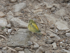 Dainty Sulphur (jdf_92) Tags: daintysulphur nathalisiole indiana butterfly northforkmarsh