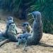 Captive Meercat [Suricata suricatta]