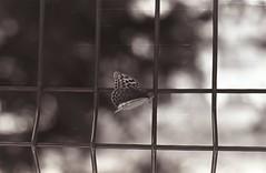 Butterfly on the grid... (Thelightnote) Tags: sevastopol blacknwhite takumarsmc5518 pentaxf kodaktmax400 crimea russia