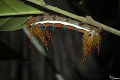 Caterpillar (Kusi Seminario) Tags: oruga worm gusano 100mm macro closeup invertebrate insecto insect nature outdoors rainforest selva jungle tambopata sandoval madrededios peru southamerica sudamerica canon eos 7dmarkii