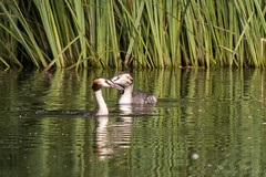 Great Crested Grebes-0891 (WendyCoops224) Tags: canon eos lackford 80d 100400mml ©wendycooper great crested grebe
