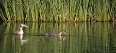 Great Crested Grebes-0898 (WendyCoops224) Tags: canon eos great crested grebe lackford 80d 100400mml ©wendycooper