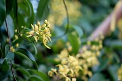 Mai hoàng yến (Tristellateia australasiae) (luongsangit58) Tags: flower hoa fujifilm fujifilmxt10 fuji tristellateia australasiae minolta