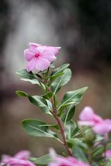 Hoa dừa cạn (Vinca roseus) (luongsangit58) Tags: fujifilm fuji fujifilmxt10 hoa flower minolta plan bokeh vinca