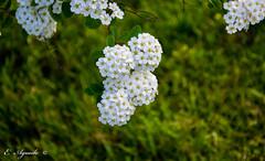 Bridal Wreath (E. Aguedo) Tags: bridal bokeh flower white warwick ngc nature garden green wreath outdoors small close up bush