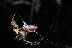 Orb-weaver spider (Kusi Seminario) Tags: aracnido araña spider arachnid spiderweb teladearaña 100mm macro closeup invertebrate nature outdoors rainforest selva jungle tambopata sandoval madrededios peru southamerica sudamerica canon eos 7dmarkii