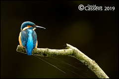 Male Kingfisher_F7O4813 (David E Cassells) Tags: king fisher kingfisher commonkingfisher alcedoatthis eurasiankingfisher fish bird eurasian nature photography canon1dx canonef300mmf28lisiiusm northern ireland alcedo atthis animal
