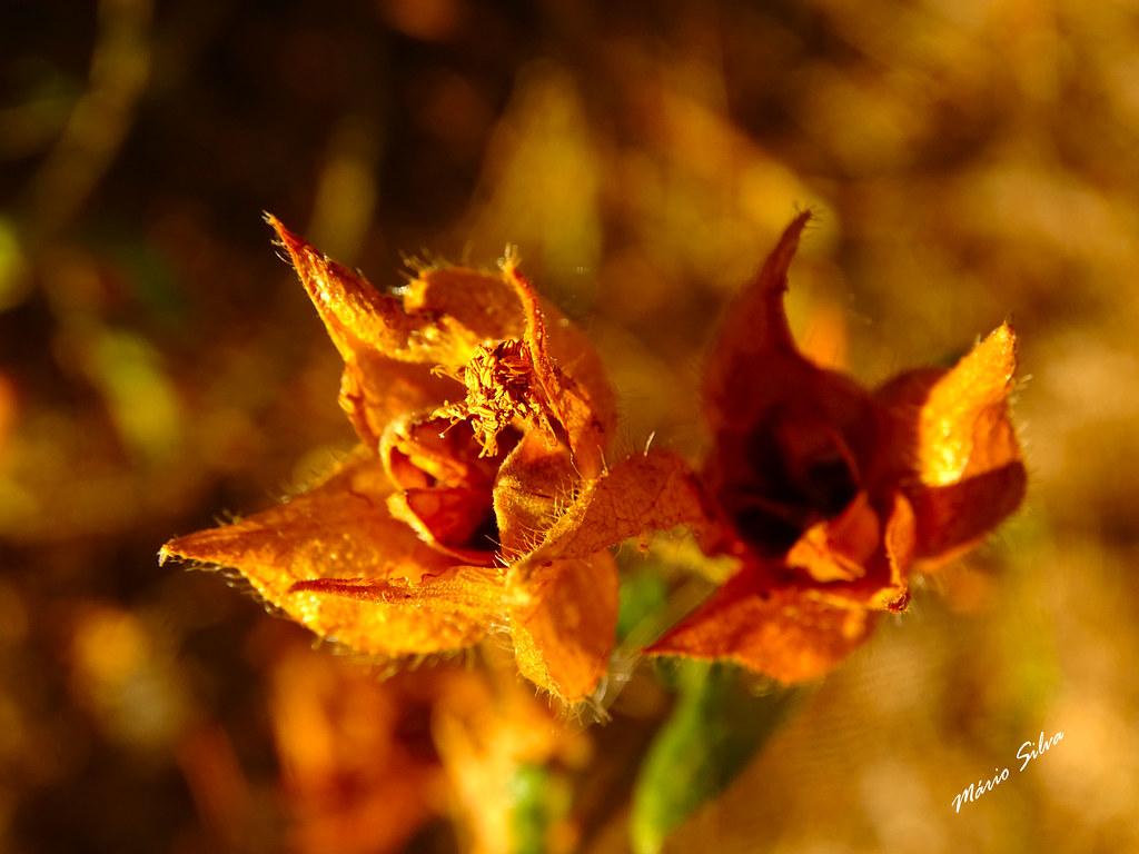 Águas Frias (Chaves) - ... flor campestre, já seca ...