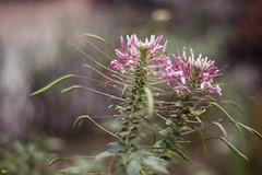 Hoa màng màng (Cleome hassleriana) (luongsangit58) Tags: fujifilm fuji fujifilmxt10 hoa flower minolta plant bokeh