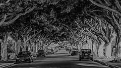 Canopy.JPG (remiklitsch) Tags: la black city nikon noir panorama panoramic remiklitsch street urban white trees cars canopy shadows