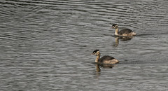 Great Crested Grebe-1029 (WendyCoops224) Tags: canon eos lackford 80d 100400mml ©wendycooper great crested grebe