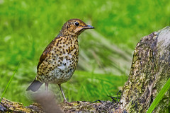 Eurasian Song Thrush ( Turdus philomelos ) - Close up !! (Clive Brown 72) Tags: wildlife bird wales thrush ground rare scarce woodland songthrush uk