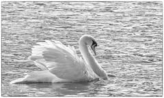 "Swan <a style=""margin-left:10px; font-size:0.8em;"" href=""http://www.flickr.com/photos/49170485@N03/48694917558/"" target=""_blank"">@flickr</a>"