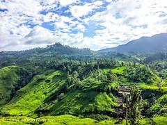Kandy tea plantations, Kandy, Sri Lanka