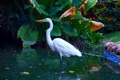 Ardea alba (13gostreet) Tags: animal nature lake green water egret heron ardeaalba dominicana whiteheron