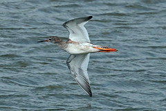 redshank (DODO 1959) Tags: wildlife redshank animal avian birds fauna flight wader water nature outdoor canon 7dmk2 100400mmmk2 wales carmarthenshire kidwellyquay