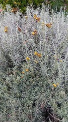 Helichrysum italicum, Curry Plant (sftrajan) Tags: gardenoffragrance botany helichrysumitalicum curryplant sanfranciscobotanicgarden strybingarboretum goldengatepark jardinbotanique sanfrancisco california 2019