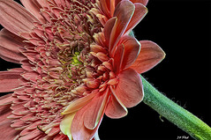 Pretty in Pink (maspick) Tags: flower plant floral bloom blossom petals stamen daisy pink gergera focusstack 39images iowa unitedstates