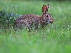 Cottontail Bunny having dinner. (Steve InMichigan) Tags: cottontailrabbit cottontail cottontailbunny rabbit canoneosm50 fujixfujinonzebc85225mmf45 pixcofujiemlensadapter