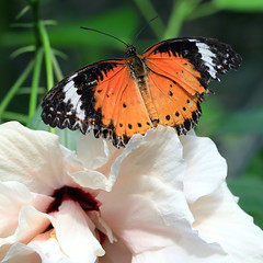 leopard lacewing (oldogs) Tags: butterfly insect lacewing flower hibiscus nature